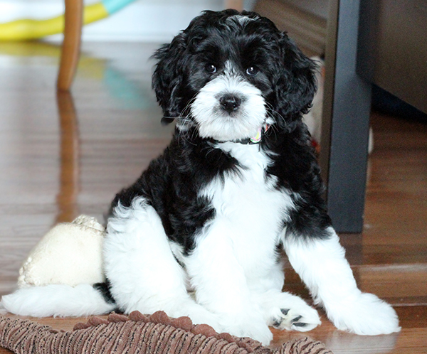 Labradoodles Puppies Available