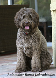 Labradoodle Breeder Charleston