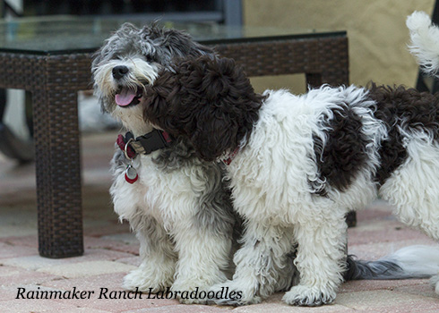 Toy Labradoodles and Toy Australian Labradoodles