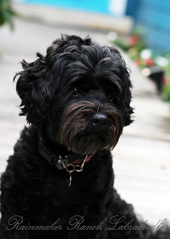 Black Mini Labradoodle