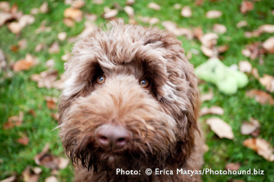 Labradoodle Dog Chocolate