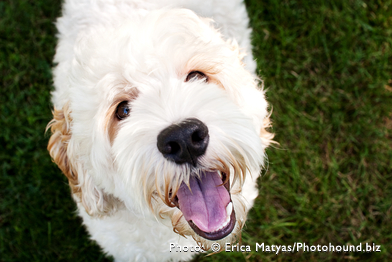 Labradoodles in Ohio and South Carolina