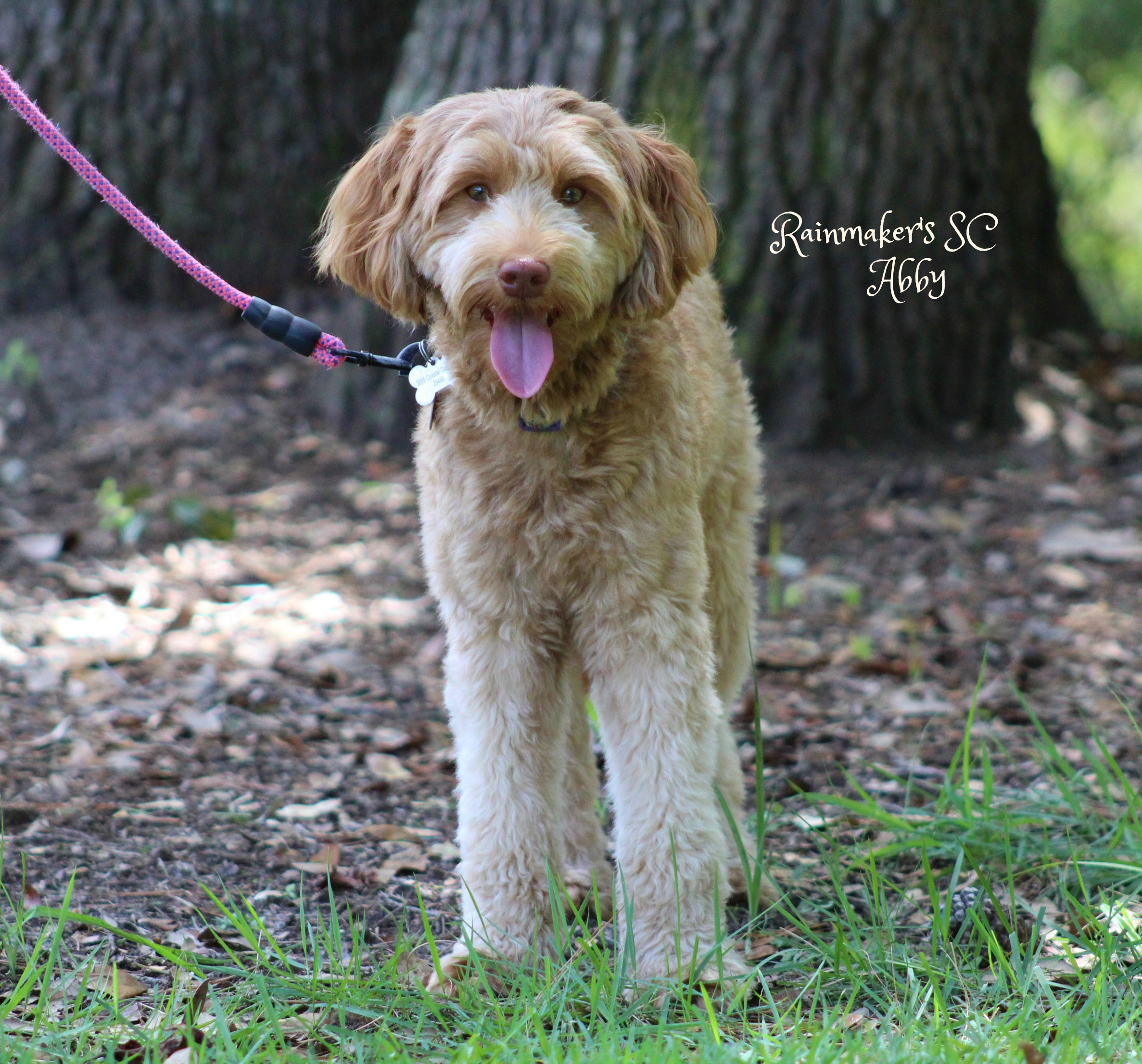 Apricot LAbradoodle Puppies