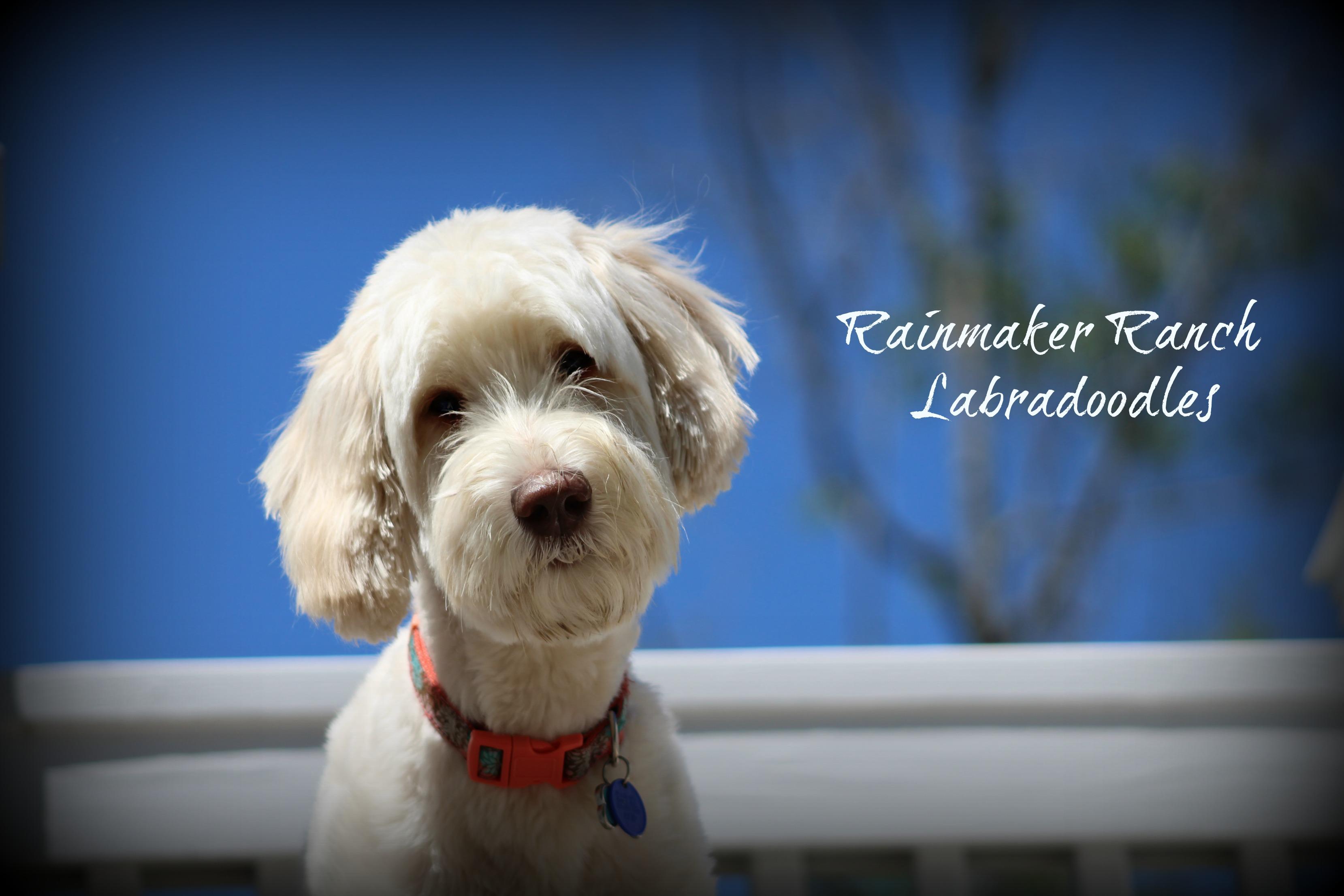 Australian Labradoodle Parent Dogs at Rainmaker Ranch