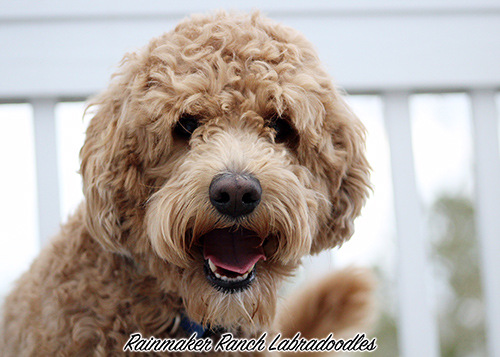 Apricot Labradoodle Stud South Carolina