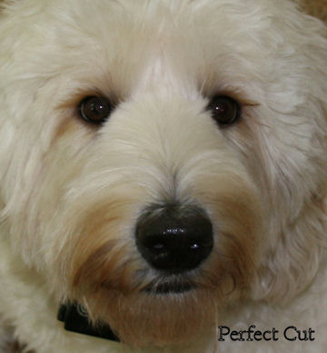 How to Groom a Labradoodle and Australian Labradoodle