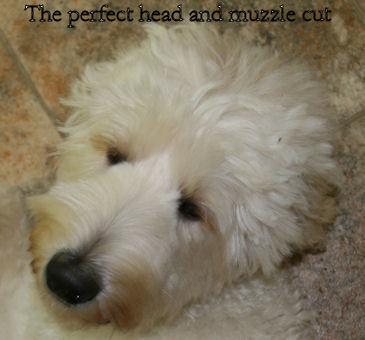 Perfect Labradoodle haircut