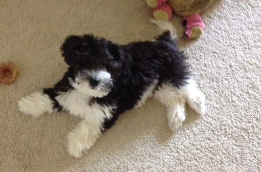 Toy Labradoodle Thelma Mini