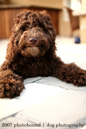 Labradoodle adult female