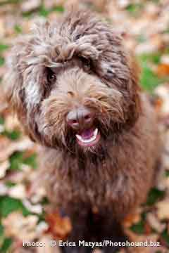 Chocolate Labradoodle Breeder
