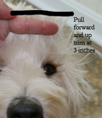 How To Groom A Labradoodle Labradoodle Haircut