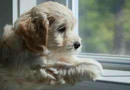 Mini labradoodle puppy